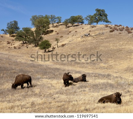 Buffalo herd spotted on Route 58 - California, 20 miles West from the junction with Soda Lake Road or 30 miles East from Santa Margarita - stock photo