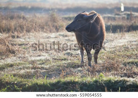 Buffalo in a field in the morning, Thailand.