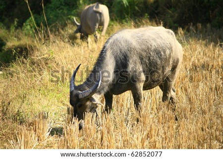 buffalo in a harvested step rice field - stock photo