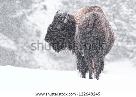 buffalo in a snow storm in idaho, mid december - stock photo
