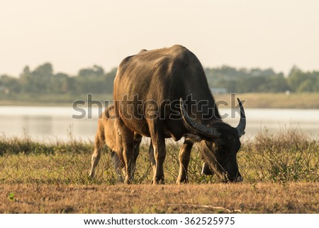 Buffalo in farmland.