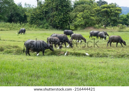 Buffalo in green field