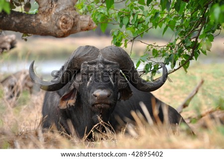 buffalo in Kruger national park,South Africa - stock photo