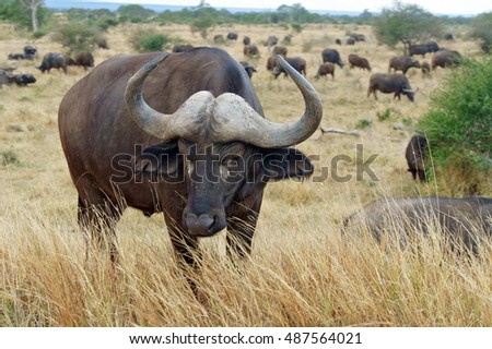 Buffalo in Kruger national park, wildlife and safari in South Africa