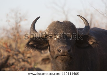 Buffalo in Kruger Park South Africa - stock photo