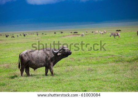 Buffalo in Ngorongoro crater area in Tanzania