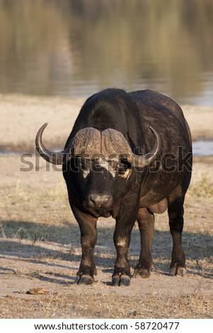 Buffalo in Sabi Sands Game Reserve, South Africa - stock photo