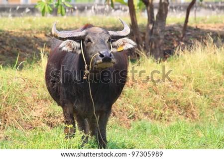Buffalo in the field - stock photo