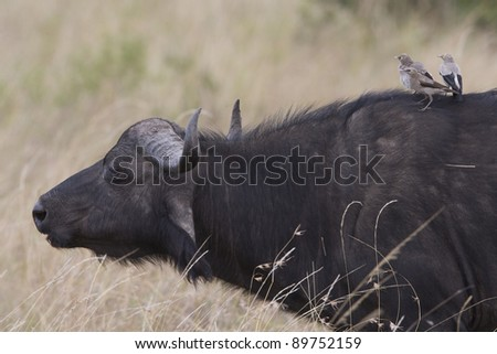 BUFFALO IN THE MASAI MARA BEING GROOMED - stock photo