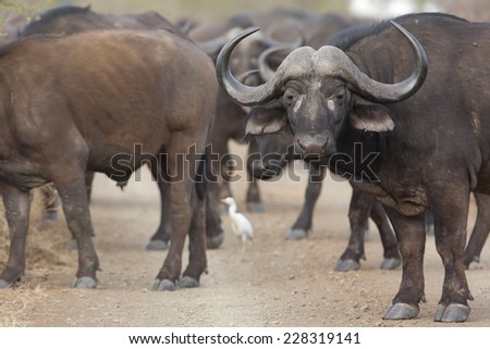 Buffalo in the way, standing on a dirt road - stock photo