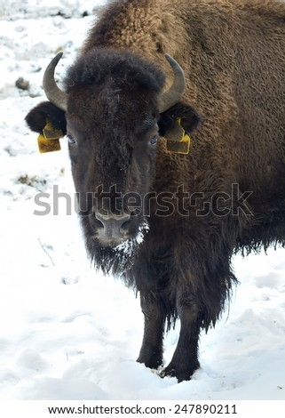 Buffalo in winter (Bison Bison) - stock photo