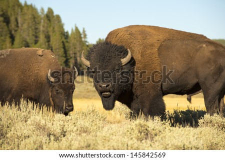 Buffalo in Yellowstone Lamar valley during summer time while looking at you - stock photo