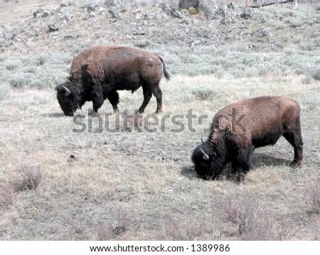 Buffalo in Yellowstone National Park. - stock photo