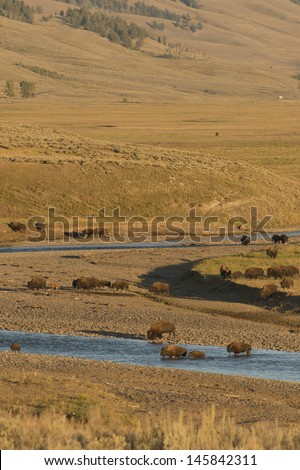 Buffalo in Yellowstone while crossing the river in Lamar valley during summer time - stock photo
