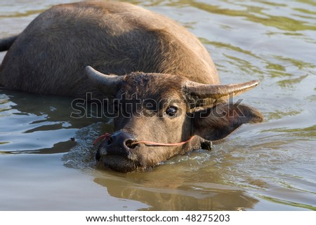 Buffalo is cooling off in the water.