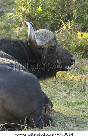buffalo lying down and showing some tongue - stock photo