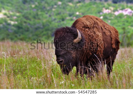Buffalo of Lawton,Oklahoma. - stock photo