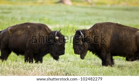 Buffalo on wildlife range outside Lawton, Oklahoma. - stock photo