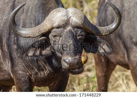 Buffalo Ox-Pecker Bird Wildlife Close portrait of buffalo head ears and horns, with ox-pecker bird on its nose cleaning for ticks fleas in wildlife reserve