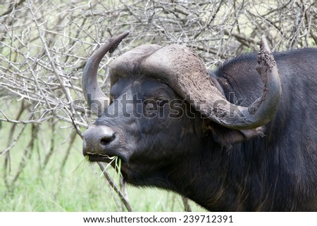 Buffalo portrait. South Africa, Kruger National Park. - stock photo