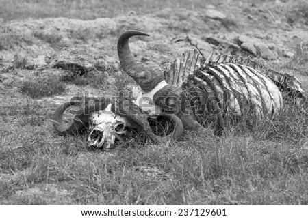Buffalo Skull in Savannah,  Kenya Africa - stock photo