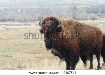 Buffalo standing in field and snow