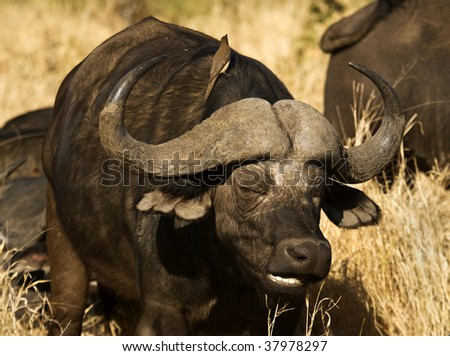 Buffalo standing up with a Oxpecker on it's back
