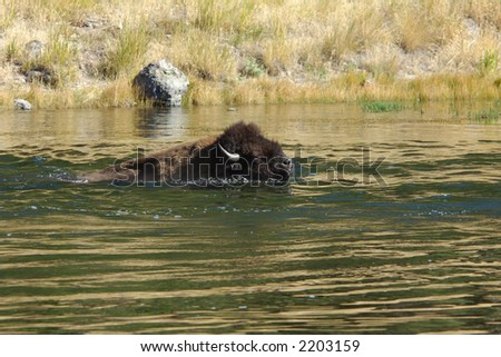 Buffalo swimming across the river