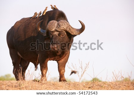 Buffalo (Syncerus caffer) close-up with Red-billed Oxpeckers (Buphagus erythrorhynchus) in the wild in South Africa - stock photo