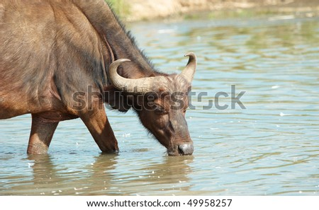Buffalo (Syncerus caffer) drinking water in the wild in South Africa - stock photo
