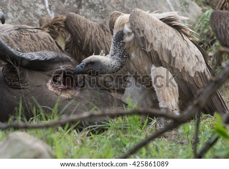 Buffalo-Vulture Eye Contact