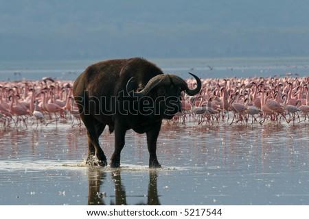Buffalo walking along the shores of Lake Nakuru, Kenya - stock photo