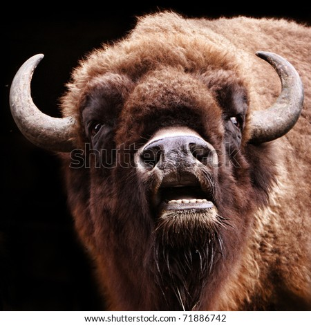buffalo with open mouth - stock photo