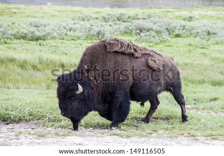 Buffalo, Yellowstone national park - stock photo