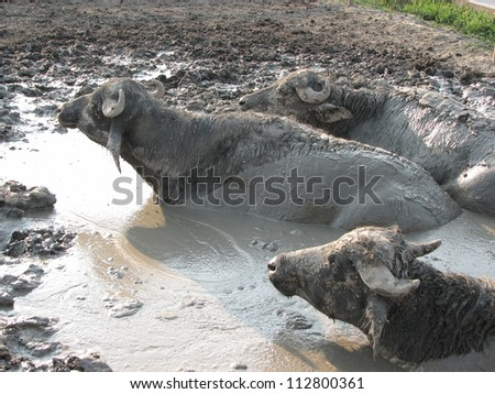 Buffaloes in a mud pit - stock photo