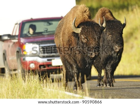 Buffaloes Obstructing Traffic at Yellowstone National Park Road - stock photo