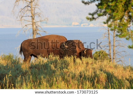 Buffalos / Bisons in high grass in Yellowstone National Park, Wyoming - stock photo