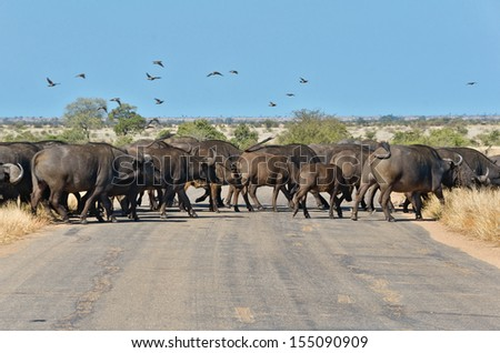 Buffalos crossing road in Kruger national park, wildlife and safari in South Africa  - stock photo