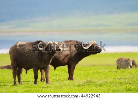 Buffalos in Ngorongoro conservation area, Tanzania