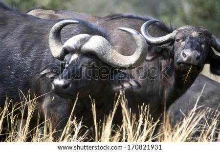 buffalos taken to kruger national park - stock photo