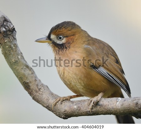 Buffy Laughingthrush