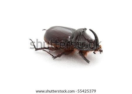 Bug a rhinoceros (Oryctes nasicornis) with the damaged forward pad on a white background
