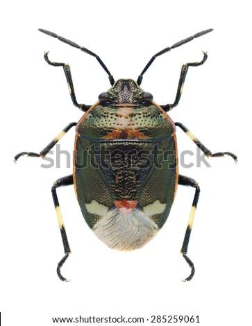 Bug Eurydema oleracea on a white background - stock photo