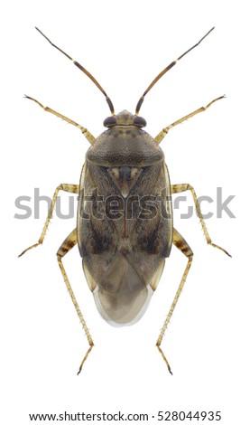 Bug Lygus Rugulipennis On A White Background