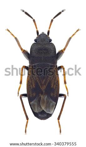 Bug Megalonotus sabulicola on a white background - stock photo