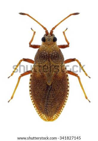 Bug Oncochila simplex on a white background - stock photo