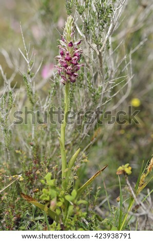 Bug Orchid - Orchis fragransFlower in habitat - stock photo