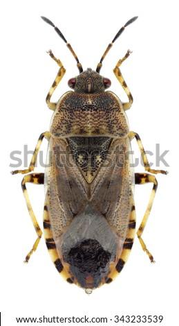 Bug Platyplax salviae on a white background - stock photo