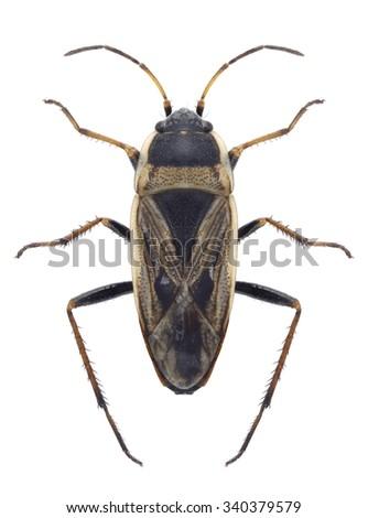 Bug Xanthochilus quadratus on a white background - stock photo