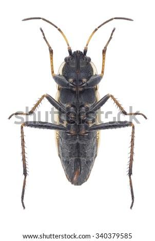 Bug Xanthochilus quadratus (underside) on a white background - stock photo